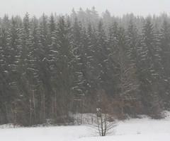 Grrr! Brrr! (:Linda:) Tags: snow germany village thuringia conifer brden