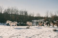 Su propio camino. (PetterZenrod) Tags: winter horses naturaleza snow mountains nature forest caballos f14 nieve sigma invierno frío burgos 30mm canon650d