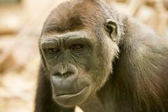 2015-01-24-11h18m33.BL7R1063 (A.J. Haverkamp) Tags: amsterdam zoo gorilla thenetherlands artis dierentuin shomari canonef70200mmf28lisusmlens httpwwwartisnl dob12072007 pobamsterdamthenetherlands