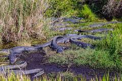 Annual Alligator Alliance