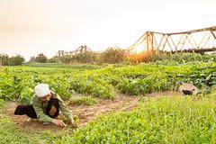 Farmer (Jesse4870) Tags: bridge sunset red plant tree bike bicycle river asia long song farm south banana east vietnam hong land tropical farmer middle hanoi bien cau