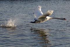 Take-off (MalB) Tags: cambridge bird swan pentax cam k5