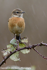 Stonechat 1 web-8245 (John Gordon Photography (Canada)) Tags: uk wales avian gwent ukbirds newportwetlands johngordonsphotographycom