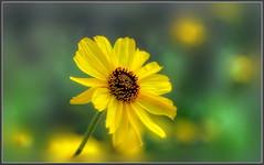 Spring Color (tdlucas5000) Tags: california flowers flower yellow bush bokeh sunflowers daisy dreamy wildflowers