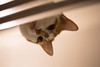 Rat's Eye View 1 - #53/100 (Kadacat (Marlene)) Tags: cat lookingup dexter ratseyeview day53365 day53 365the2015edition 3652015 22feb15