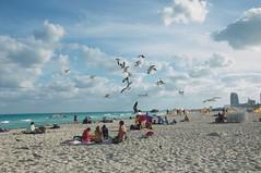 We want a bite (Eustaquio Santimano) Tags: usa white beach sunshine clouds dance state florida miami seagull south united states