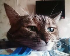 Journée internationale de chats/международный день кошек (moscouvite) Tags: animal chat fete russie friendsofzeusphoebe heleneantonuk sonysgp521