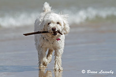 Small White Dog Carrying a Stick at the Beach (Brian Lasenby) Tags: ocean summer dog pet white lake plant ontario canada color tree cute beach nature wet water animal season fun sand energy surf waves branch play small joy places greatlakes size shore poodle northamerica environment stick aquatic cockerspaniel fetch lakehuron cockapoo wetland freshwater retrieve whitedog behaviour