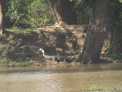 Crocodile on the Menik Ganga