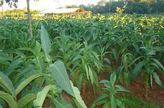 Tabaco en Paraguay 02
