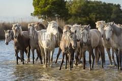 40080748 (wolfgangkaehler) Tags: horse france water french europe european wetlands marsh herd marshland wetland camargue southernfrance marshlands 2016 camarguehorses
