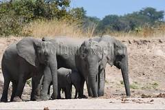10075754 (wolfgangkaehler) Tags: africa elephant mammal nationalpark digging african wildlife dry zambia africanelephant babyelephant southernafrica animalbabies babyanimal babyanimals 2016 zambian dryriverbed southluangwanationalpark animalbaby africanelephantloxodontaafricana diggingforwater