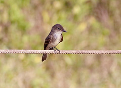 Eastern Phoebe (1krispy1) Tags: phoebe easternphoebe flycatchers texasbirds
