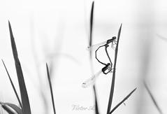 La vida se abre camino insconscientemente (Victor:-)) Tags: alairelibre animal avila blancoynegro candeleda conamparohervella embalsedelrosarito insecto libelula luznatural natural naturaleza nikond5200 panpano primerosplanos ro sierradegredos victoraparicio luz castillaylen espaa es