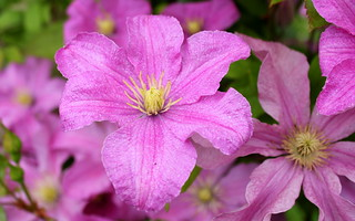 Clematis with drizzle