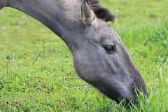 Horses_003 (cees van gastel) Tags: ceesvangastel canoneos550d horses paarden natuur nature animals dieren koninkspaarden
