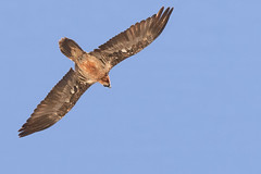 _DSC1150-2.jpg (matthieuduhau) Tags: abenvol accipitiformes animaux faune gypatebarbu oiseau rapace