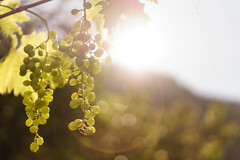 Growing in the morning sun (El.buitre) Tags: trauben grapes sun light sonne licht morgensonne morgen morning early frh a6000 natur nature wine wein obst fruit gold warm