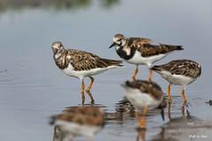 DSC_1011 (P2 New) Tags: cayenne date animaux avril pays oiseaux guyane 2016 charadriiformes guyanefrançaise tournepierreàcollier scolopacidés