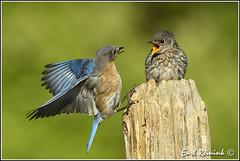 Bitchy Betty (Earl Reinink) Tags: blue bird bluebbird easternbluebird earl reinink earlreinink nature niagara nikon nikond5 utodaurdra