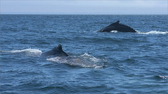 Humpbacks (Raymond J Barlow) Tags: wildlife whale newfoundland travel phototours workshop raymondbarlow atlantic ocean outdoor