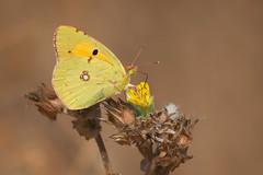 Oasis (Luis-Gaspar) Tags: animal insect insecto butterfly borboleta maravilha borboletamaravilha cloudedyellow coliascroceus lepidoptera pieridae portugal oeiras pacodearcos nikon d60 55300 f8 11250 iso400