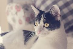 335 (Rafi Moreno) Tags: cat gato pet mascotas felino oreo rafi canon proyecto365fotos 365proyect soft pale
