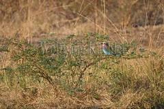 10075505 (wolfgangkaehler) Tags: africa bird african wildlife roller zambia southernafrica 2016 lilacbreastedroller zambian southluangwanationalpark rollerbird lilacbreastedrollers lilacbreastedrollercoraciascaudatus lilacbreastedrollercoraciascaudataus