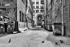 Alley view onto Metcalfe Street (David Allan Barker) Tags: bins blackwhite blackandwhite canada city fireescape garbage graffiiti junk montreal montral pigeons streetphotography urban