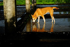 ,, Pumpkin ,, (Jon in Thailand) Tags: roof dog reflection water tongue puppy pumpkin eyes nikon tail jungle nikkor k9 d300 175528 littledoglaughedstories thedogpalace