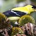 American eastern goldfinch bird  Norfolk Botanical Gardens  Virginia