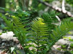 Ferns and light (pilechko) Tags: light color green pennsylvania ferns newhope bowmanshill
