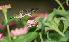Ruby-throated Hummingbird (BirdFancier01) Tags: nature garden flowers plants zinnia composition pink bird hummingbird