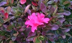 2014 (elvendreams) Tags:     pink flower pinkflower japan tokyo winter