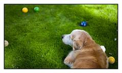 29/52 Nick & the Boccia Game (Eline Lyng) Tags: outdoor grass garden summer boccia game play dog pet canine animal golden retriever goldenretriever leica leicasl sl summilux50mmasphf14 summilux 50mm 52weeksfordogs littledoglaughedstories