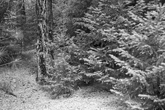 Ponderosa Pine Textures 1 BW (Don Thoreby) Tags: forest canyon cascades washingtonstate slopes cascademountains cascaderange aspentrees ponderosapine cleelumriver suncadiaresort cleelumrivervalley
