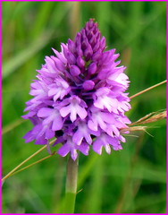 Wild Orchid (Maryjo25) Tags: wild pink orchid