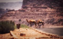 Camel X-ing (madcityfinearts) Tags: jordan wadirum bedouin desert cliffs sand sandstone landscape travel