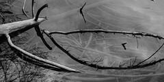 drowned branches 4332 (s.alt) Tags: dried lake water reflection shadow bavaria blackwhite bw schwarzweiss sw branch baum tree ast kalt structure texture detail alatsee meromiktischer see meromiktisch fssen bayern wasser allgu alpen gewsser landschaftsschutzgebiet faulenbacher tal lechtal schwanseetal alpseegebiet landkreis seegrund spiegelung wasserspiegelung wasseroberflche natur nature natureunveiled bume ste silhouette outdoor