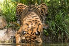 """ Where did that bone go? "" (ToddLahman) Tags: sandiegozoosafaripark safaripark canon7dmkii canon canon100400 suka sumatrantiger tigers tigertrail tiger tigercub teddy joanne babysumatrantiger baby babysuka babytiger escondido"
