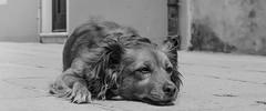 Hund (PhotoCrow) Tags: dog dogs animals venice venedig italy sun holiday hot break