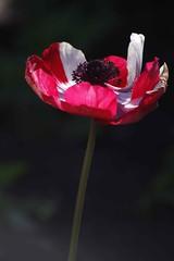Bi-colour poppy (mpp26) Tags: poppy bicolour red white single flower