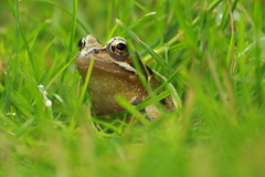 Jarrod the frog 🐸 (alicoombe) Tags: toadie frog green grass gardenwildlife