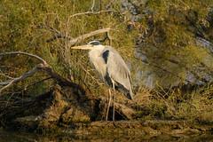 Lonely Heron (malc1702) Tags: greyheron heron largebirds birds nature wildlife animals nikond7100 tamron150600 outdoor foliage pose water