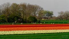 ND5_2031_Lr-edit (Alex-de-Haas) Tags: bloemenbijeenkomst dutch holland krabbendam lowcountries nederland noordholland thenetherlands westfrieseomringdijk avond beautiful bloemen bloemenvelden colorful colors colourful colours evening flat flower flowerfields kleuren kleurrijk laagland landscape landschap lente licht light mooi nature natuur plat polder spring sun sunny tulipfields tulipa tulips tulpen tulpenvelden westfriesedijk zon zonnig