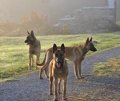 DSC_0864 (IN CANIS SPERAMUS) Tags: belgianshepherd malinois dog dogtraining puppy servicedog dogtrainer incanissperamus