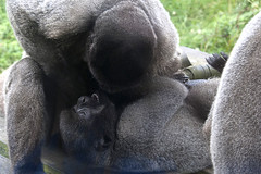 Play time with the Woolly Monkeys (vic_sf49) Tags: vicsf49 uk england dorset monkeyworld cronin