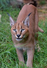 Caracal  - Big Cat Santuary at Smarden. Kent (One more shot Rog) Tags: caracal cat cats bigcats whf wildlifeheritagefoundation bigcatsanctuary smarden whiskers ears lynx caracalcat nikond7100 d7100