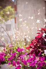 (anto291) Tags: lessaintesmariesdelamer fiori camargue