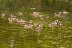 7K8A3868 (rpealit) Tags: scenery wildlife nature east hatchery alumni field hackettstown mallard ducks bird duck
